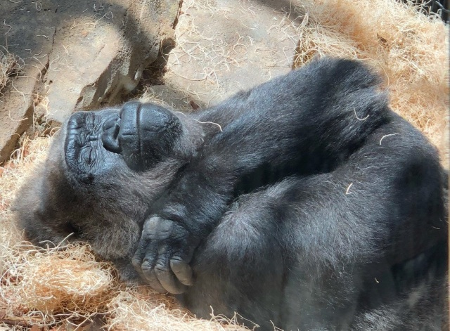 sleeping gorilla_crop